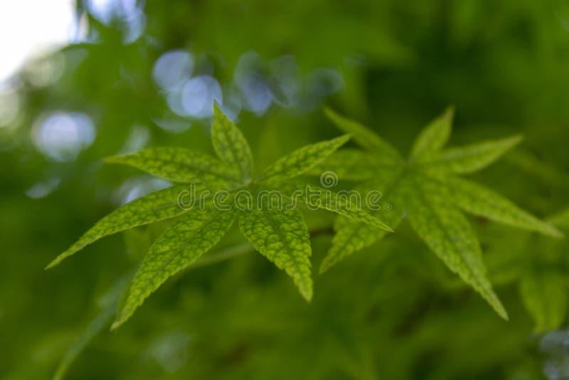 Haut ?troit de feuilles vertes d'?rable image libre de droits