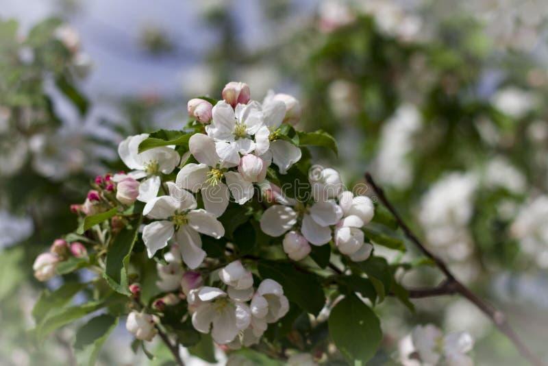 Haut ?troit de fleurs blanches de cerise photos libres de droits