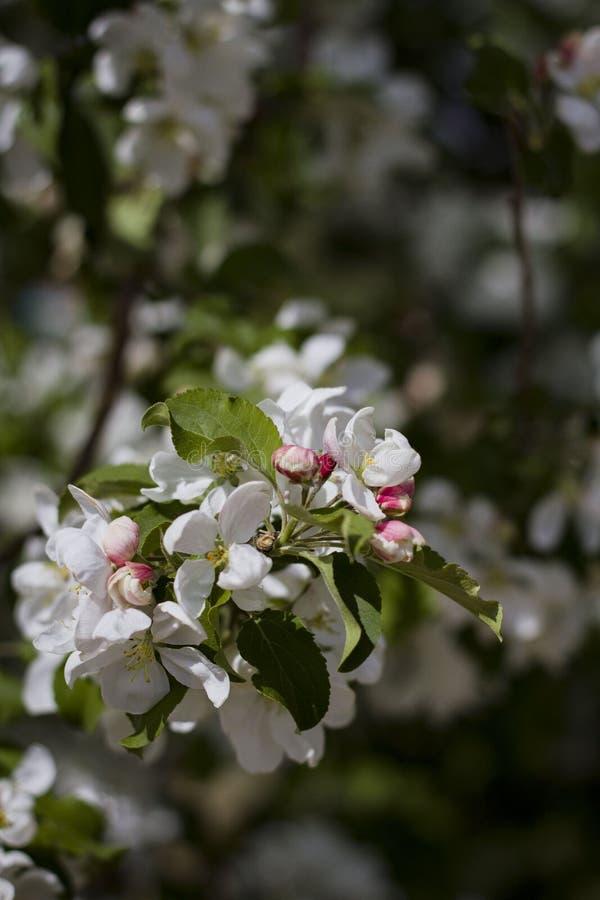 Haut ?troit de fleurs blanches de cerise photographie stock