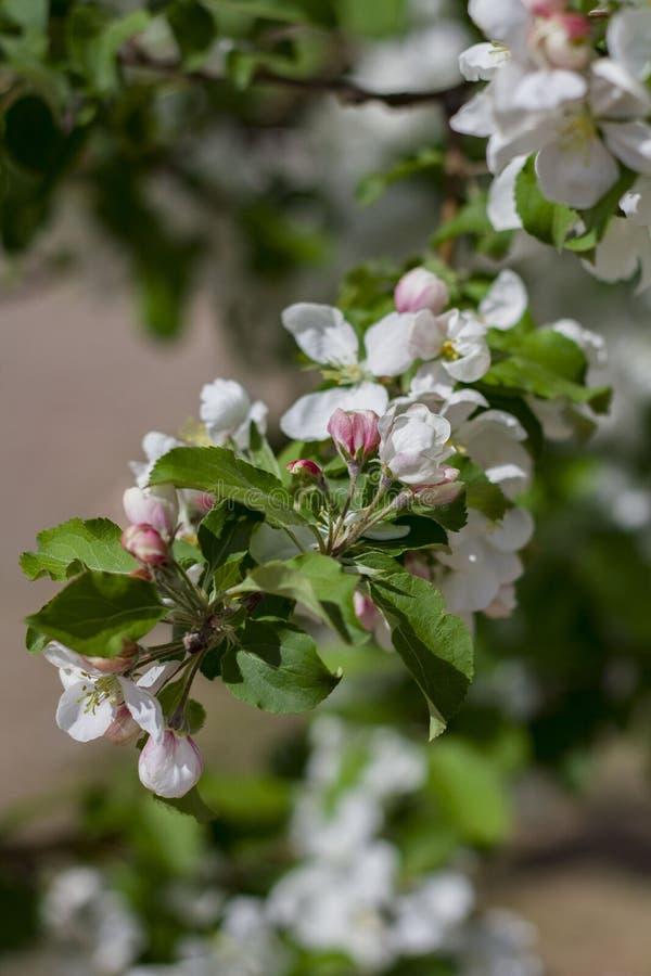 Haut ?troit de fleurs blanches de cerise images stock