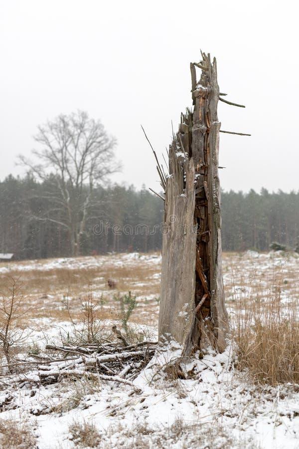 Haut tronc d'arbre cassé dans les troncs d'arbre cassés de forêt photo libre de droits