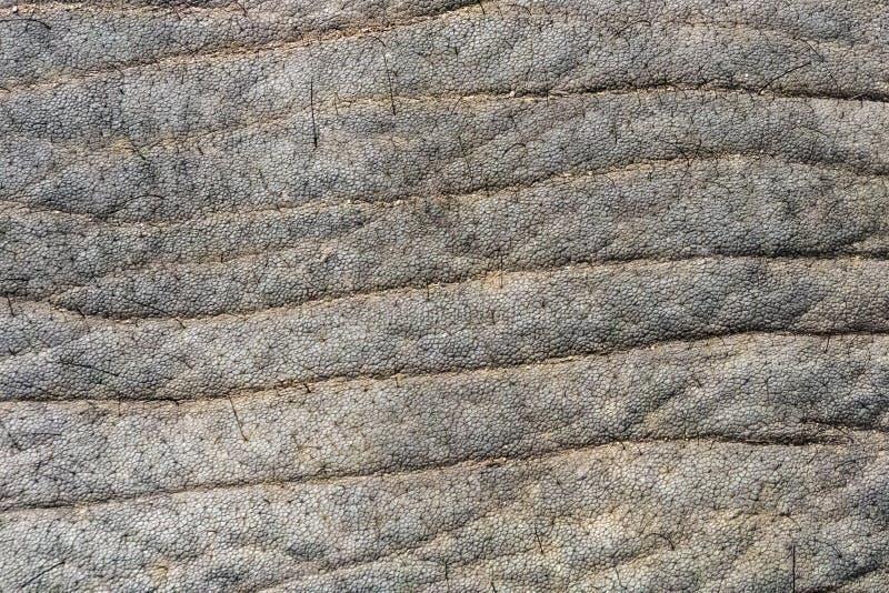 Haut von afrikanischen Elefanten sind Elefanten der Klasse Loxodonta Die Klasse besteht aus zwei extant Spezies: Afrikanischer Bu stockfotos