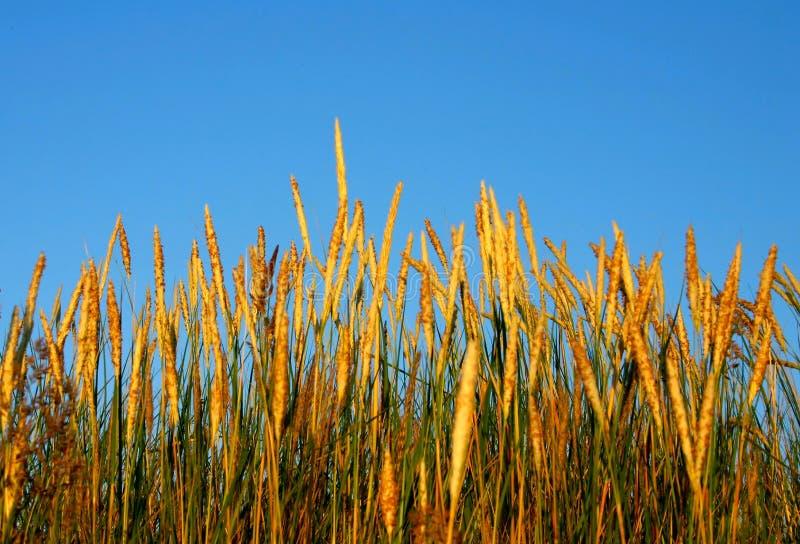 Haute herbe dans la lumière #2 de coucher du soleil image libre de droits