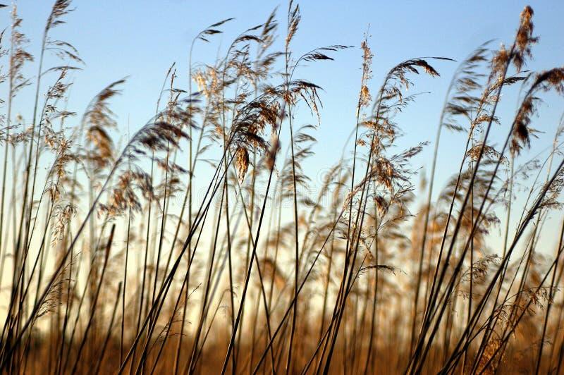 Haute herbe sur le lac avant coucher du soleil images stock