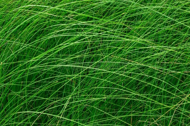 Haute herbe verte dans un pré Fermez-vous de l'herbe fraîche sur le champ images stock