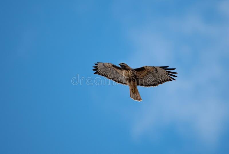 Haute rouge de chasse de faucon de queue dans le ciel images stock