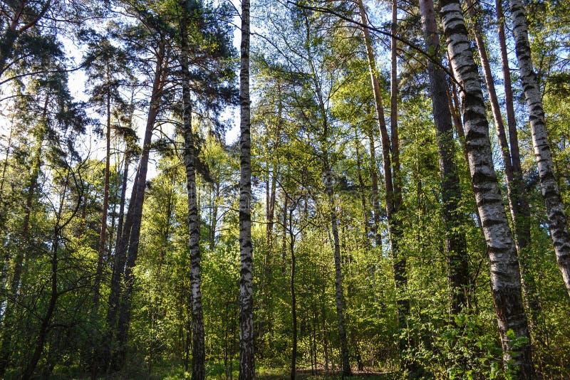 Hauts arbres de bouleau dans la région russe de Moscou de forêt de forêt photo stock