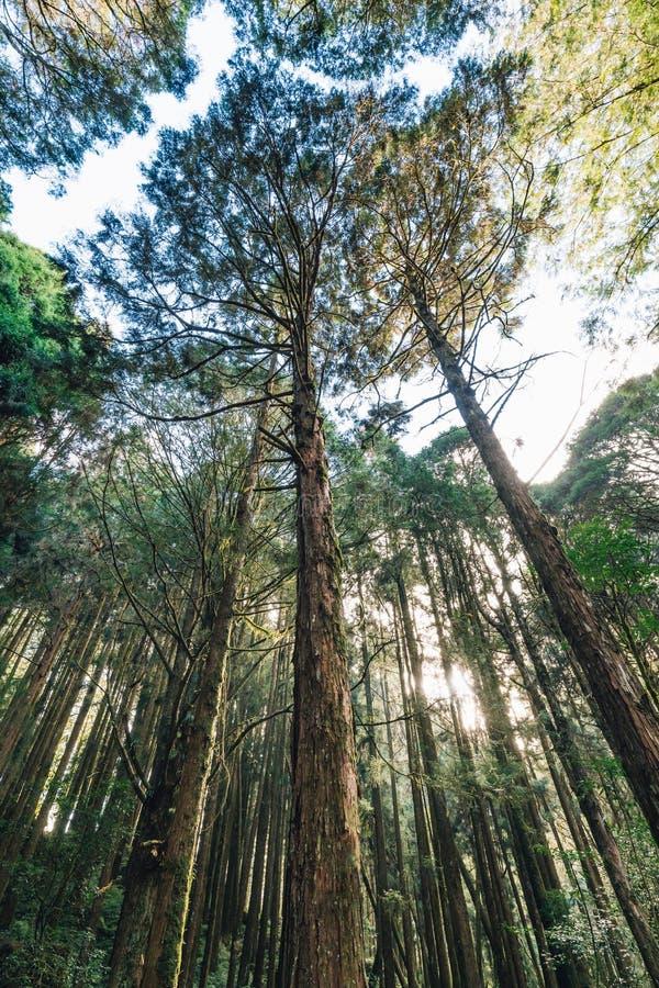 Hauts arbres de cèdre qui regardent de dessous dans la forêt dans Alishan Forest Recreation Area national dans le comté de Chiayi photographie stock libre de droits