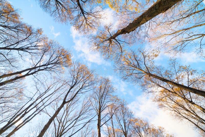 Hauts arbres jaunes d'automne au-dessus de vue d'angle faible de route photos libres de droits