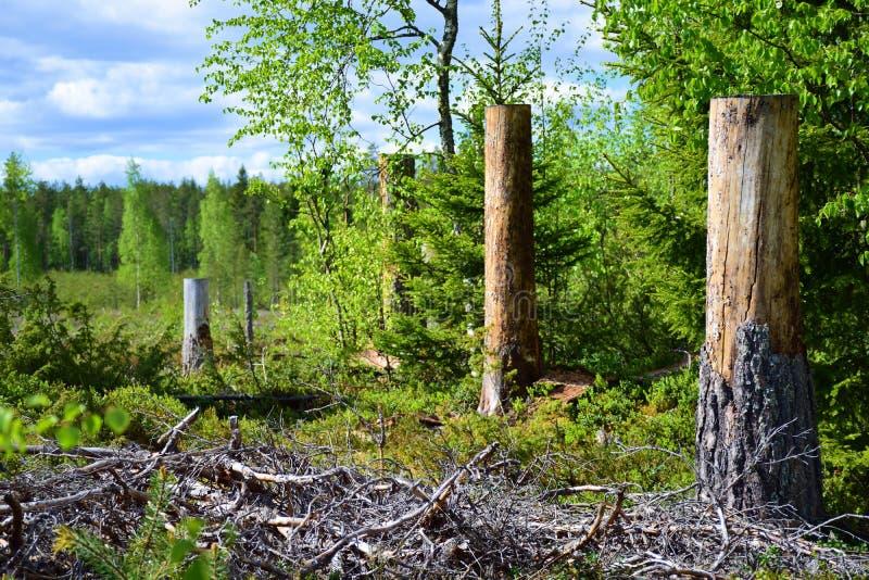 Hauts tronçons d'arbre dans la forêt image stock