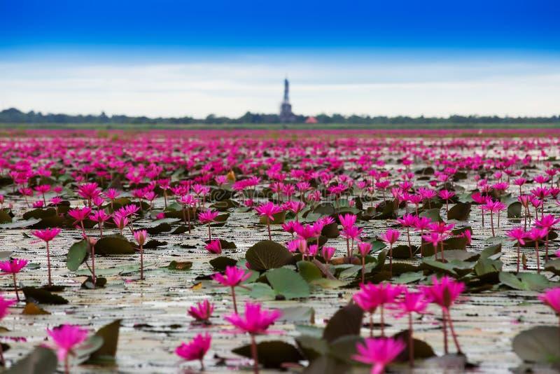 Hav av röd lotusblomma royaltyfria bilder
