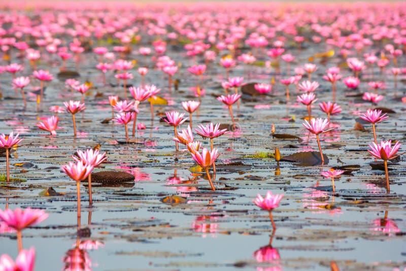 Hav av rosa lotusblomma, Nonghan, Udonthani, Thailand arkivfoton
