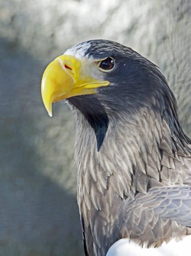Hav Eagle royaltyfria bilder