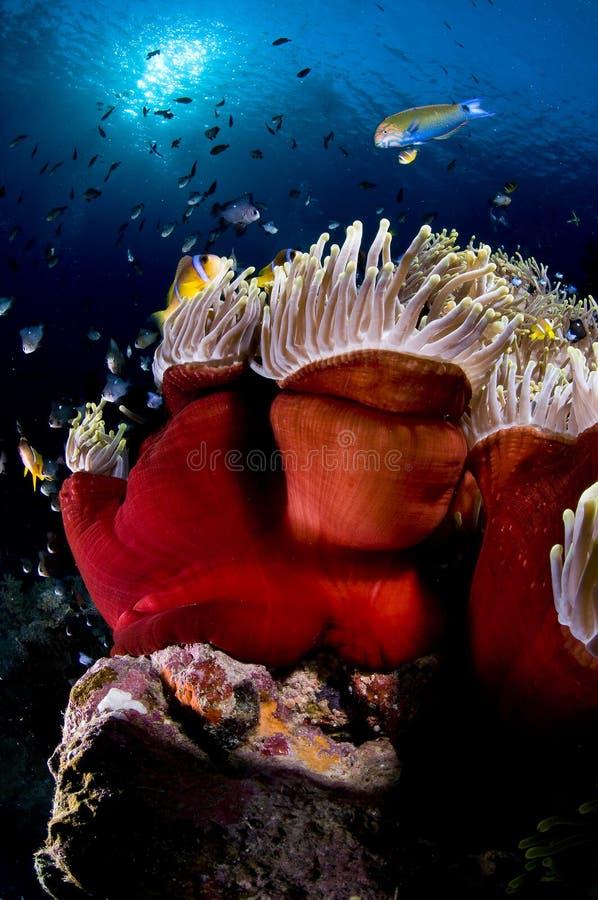 hav för anemonegypt rött rev arkivfoto
