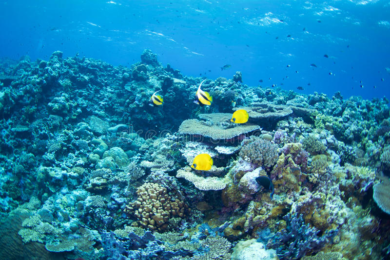 hav för floror för bluecheekbutterflyfishfauna rött arkivbilder