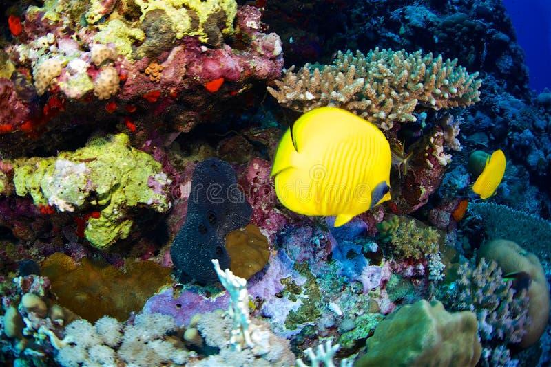 hav för floror för bluecheekbutterflyfishfauna rött arkivfoto