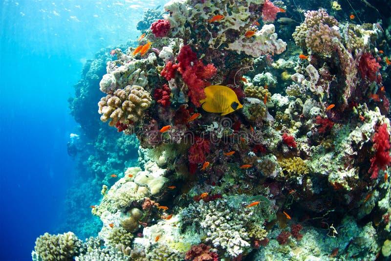 hav för floror för bluecheekbutterflyfishfauna rött arkivbild