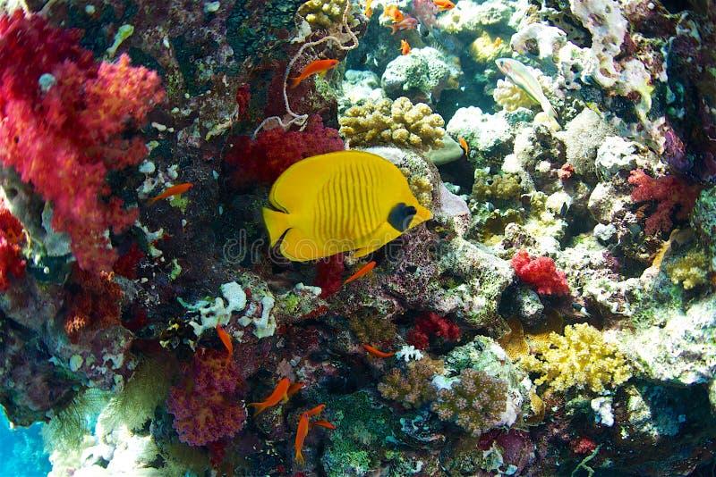 hav för floror för bluecheekbutterflyfishfauna rött arkivfoton