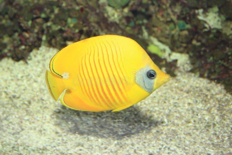 hav för floror för bluecheekbutterflyfishfauna rött fotografering för bildbyråer