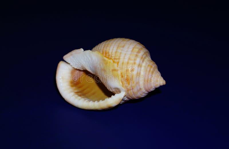 Hav-SHELL på mörker - blå bakgrund royaltyfri fotografi