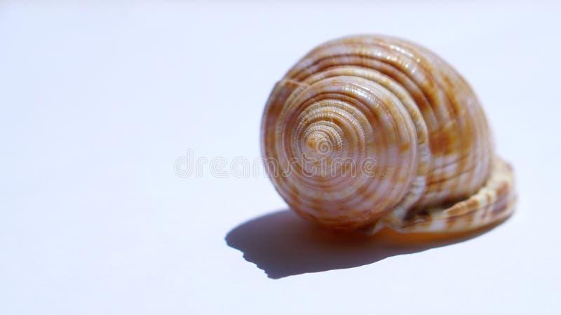 Hav-SHELL på vit bakgrund arkivfoton