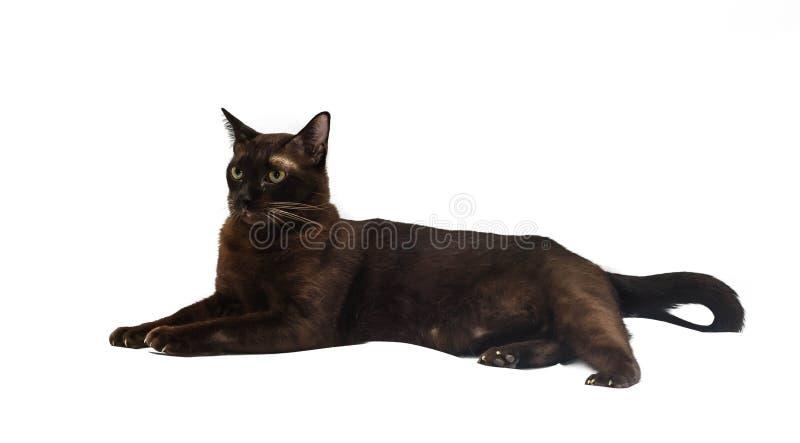 Havana Brown Cat fotografie stock