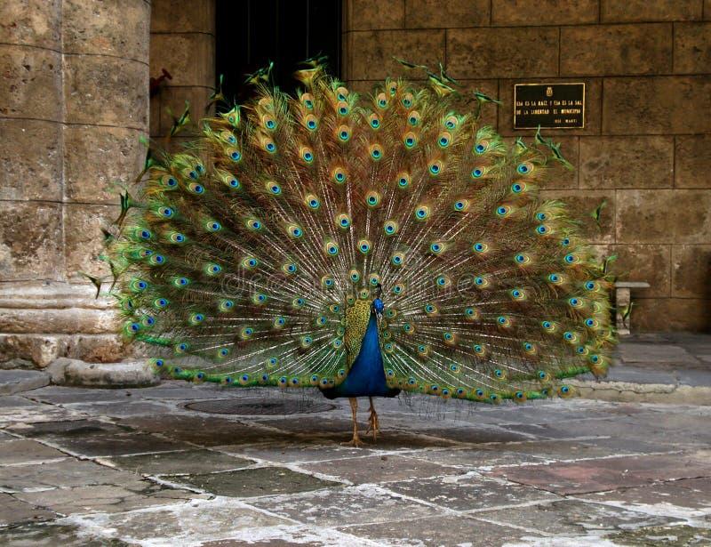 Havana Peacock foto de archivo libre de regalías
