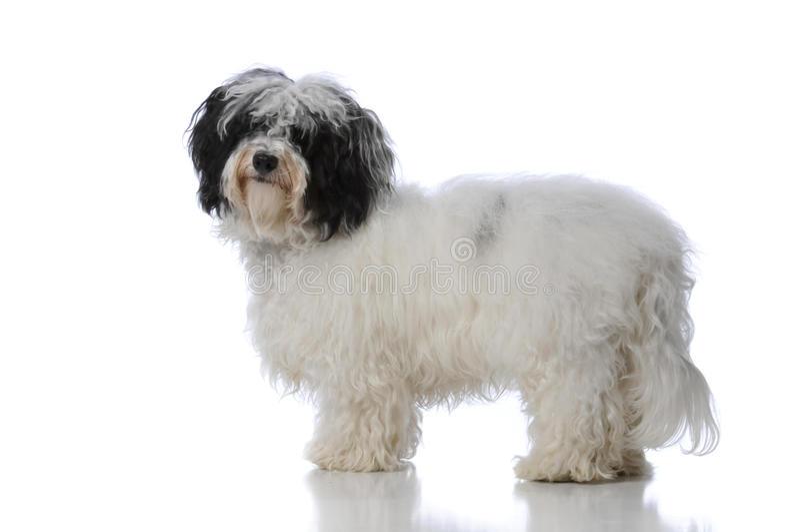 havanese的狗 免版税图库摄影