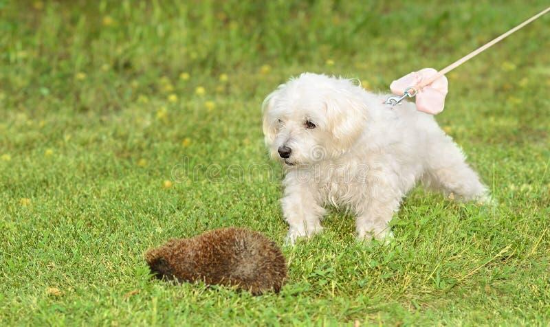 Havanese σκυλί Bichon στοκ εικόνα