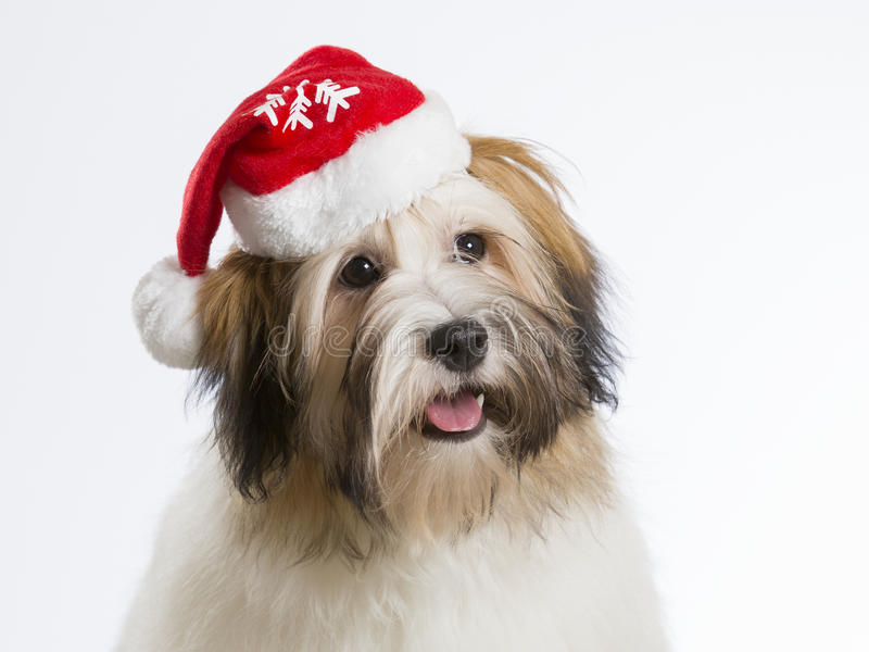Havanese dog puppy with Christmas hat stock images