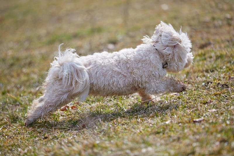Havanese dog running on the grass stock photography