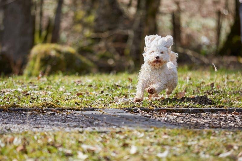 Havanese dog running on the grass stock image