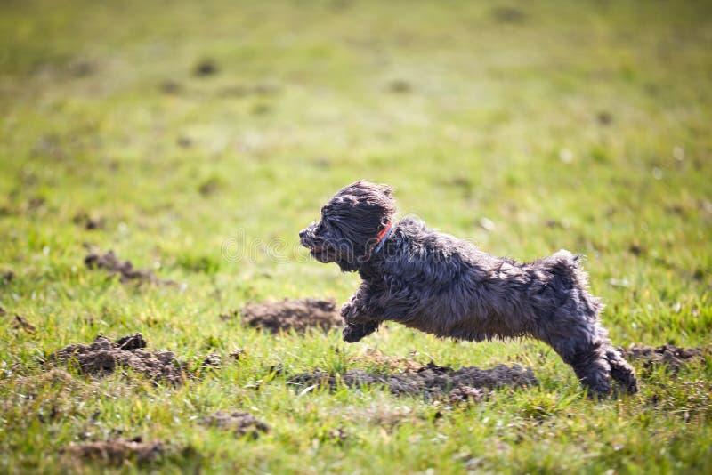 Havanese dog running and jumping stock image