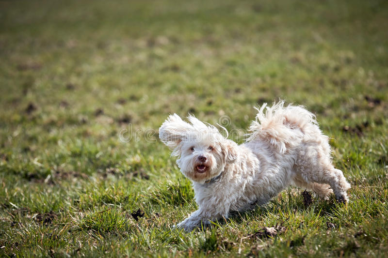 Havanese dog running and jumping stock images