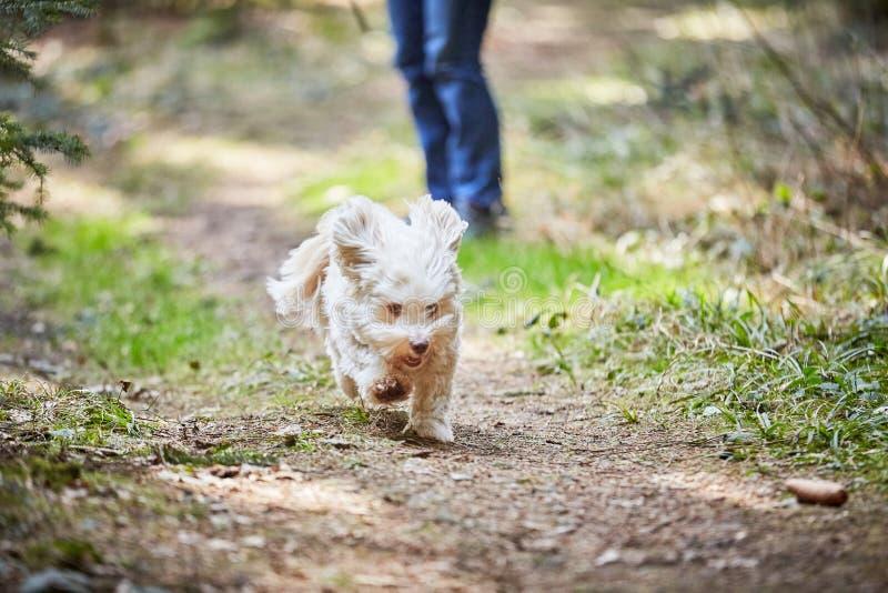 Havanese dog running and jumping stock photo