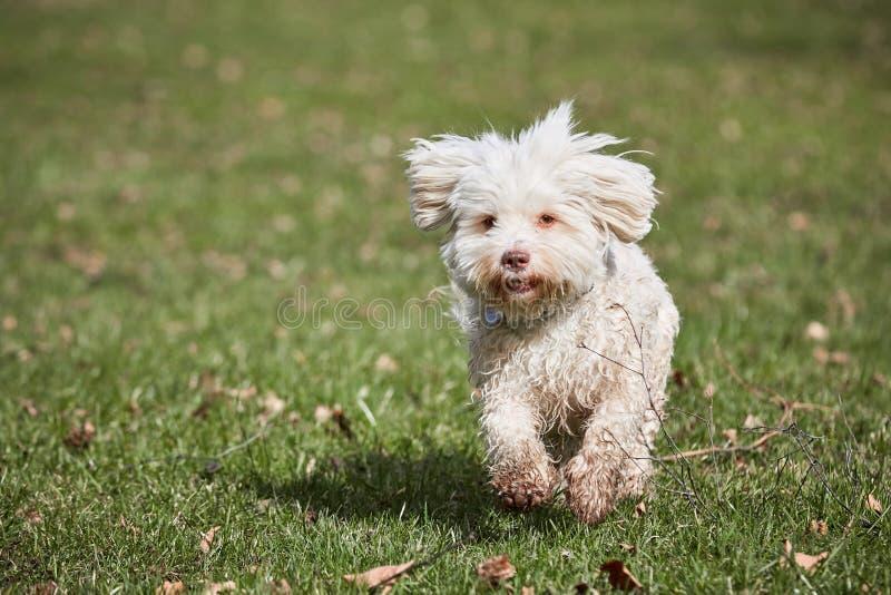 Havanese dog running in the park in springtime stock photos