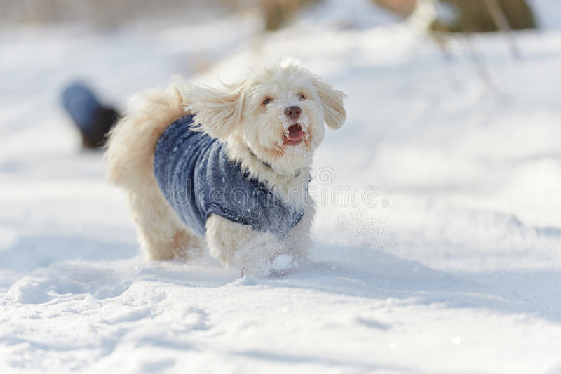 Havanese dog running and playing in the snow stock images