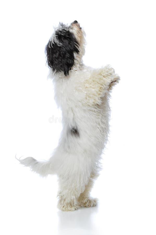Havanese Hund stockfotos