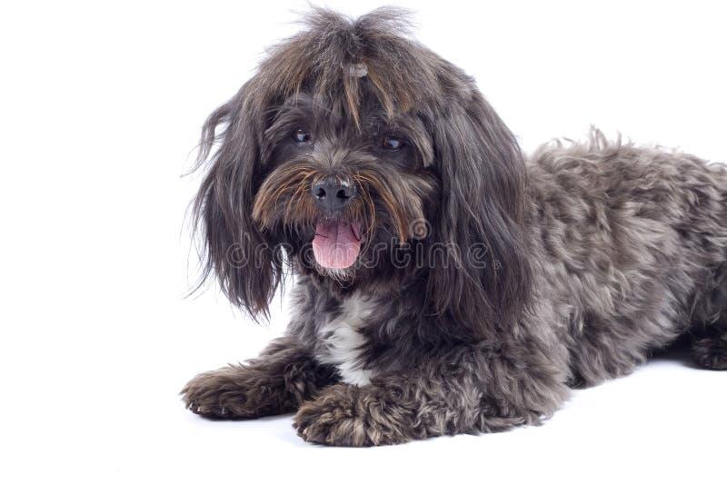 Havanese Hund, der auf einem weißen Hintergrund steht stockbilder