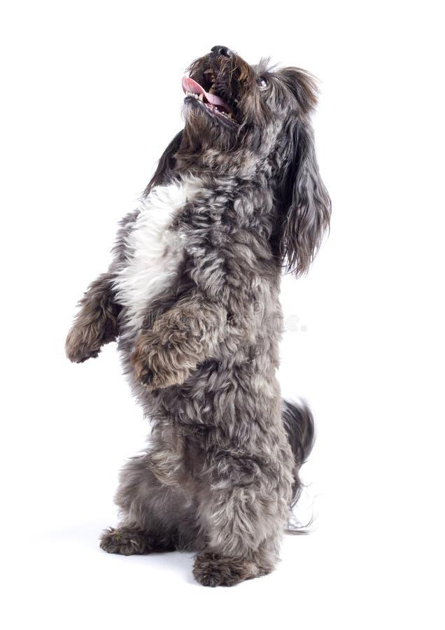 Havanese Hund, der auf seinen Hinterfahrwerkbeinen steht lizenzfreie stockbilder