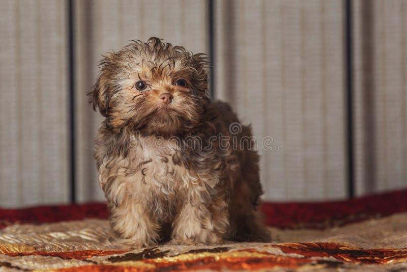 Havanese hund hemma Härlig liten valp royaltyfria foton