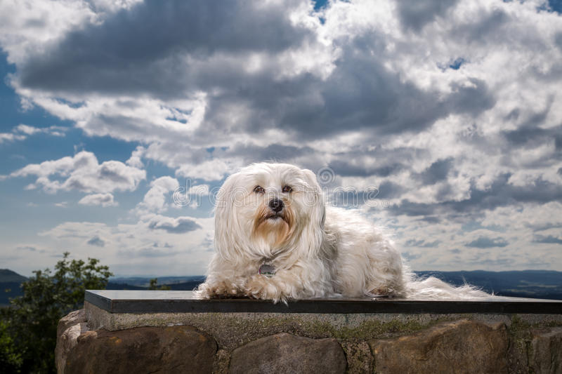 Havanese no céu foto de stock royalty free