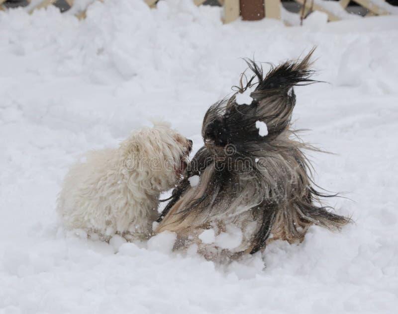 Havanese ont coupé et apso de Lhasa jouant dans la neige images libres de droits