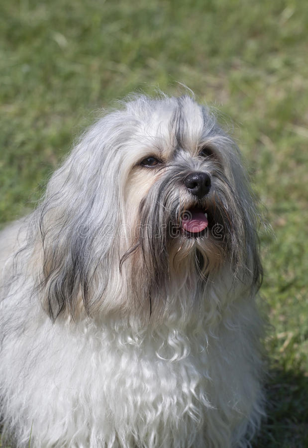 Download Havanese portrait stock image. Image of young, purebred - 34017307
