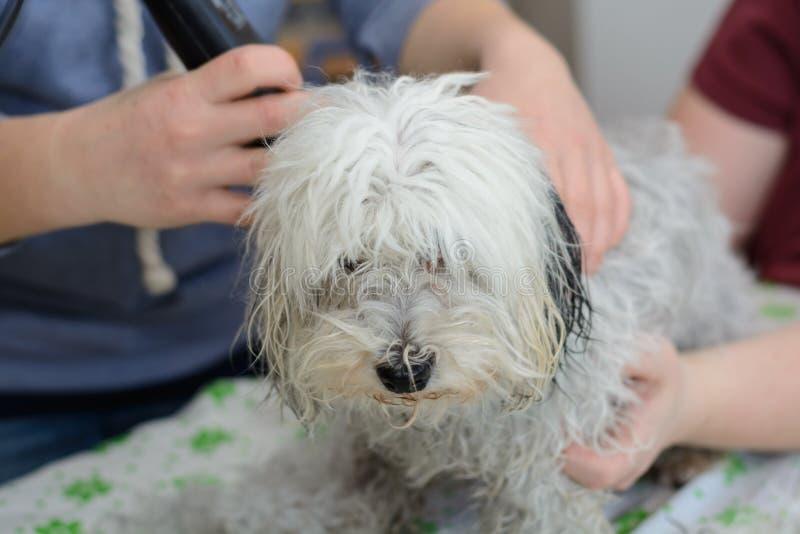 Havanese przy psim fryzjerem - zakończenie fotografia stock