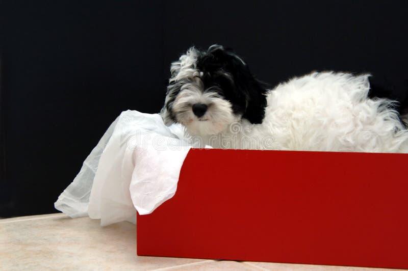 Havanese puppy gift stock photography