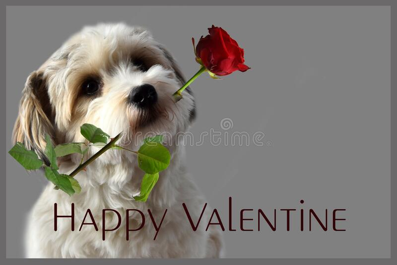Happy valentine. Havanese puppy with rose in his snout. Havanese puppy with red rose in his snout wishes happy valentines day stock photo