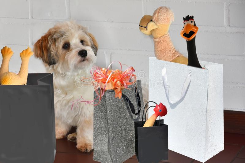 Havanese puppy after shopping tour royalty free stock photos