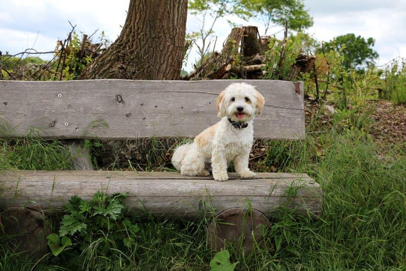 Havanese se está sentando en un banco de madera fotografía de archivo