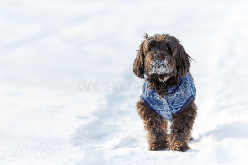 Havanesehond die en in sneeuw wachten letten op royalty-vrije stock afbeelding